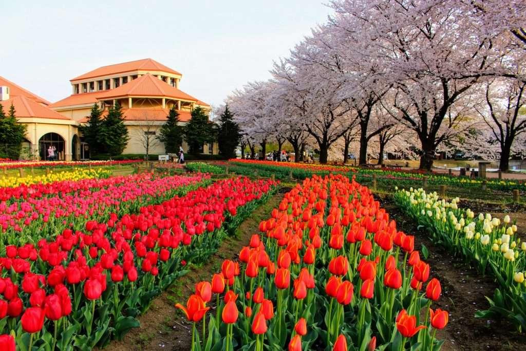 tulips at Fukaya Green Park