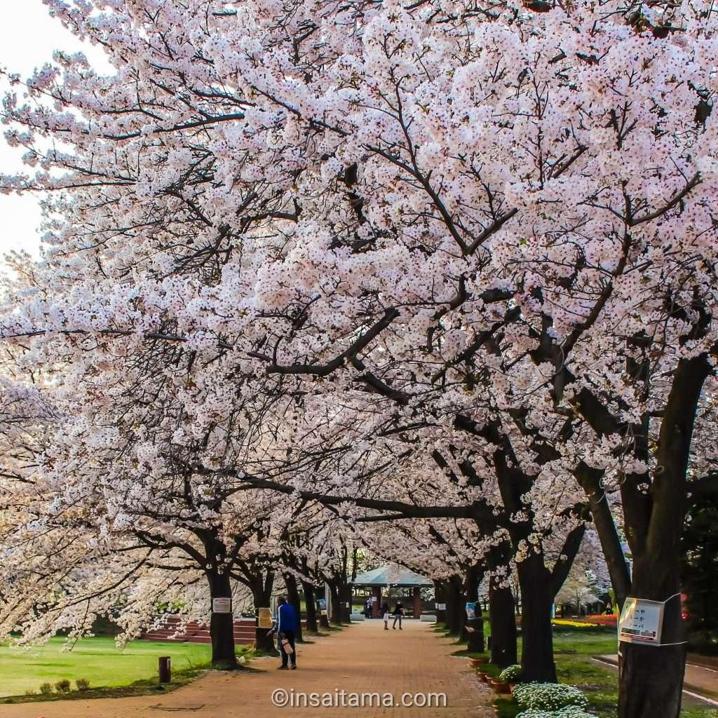 cherry blossoms fukaya