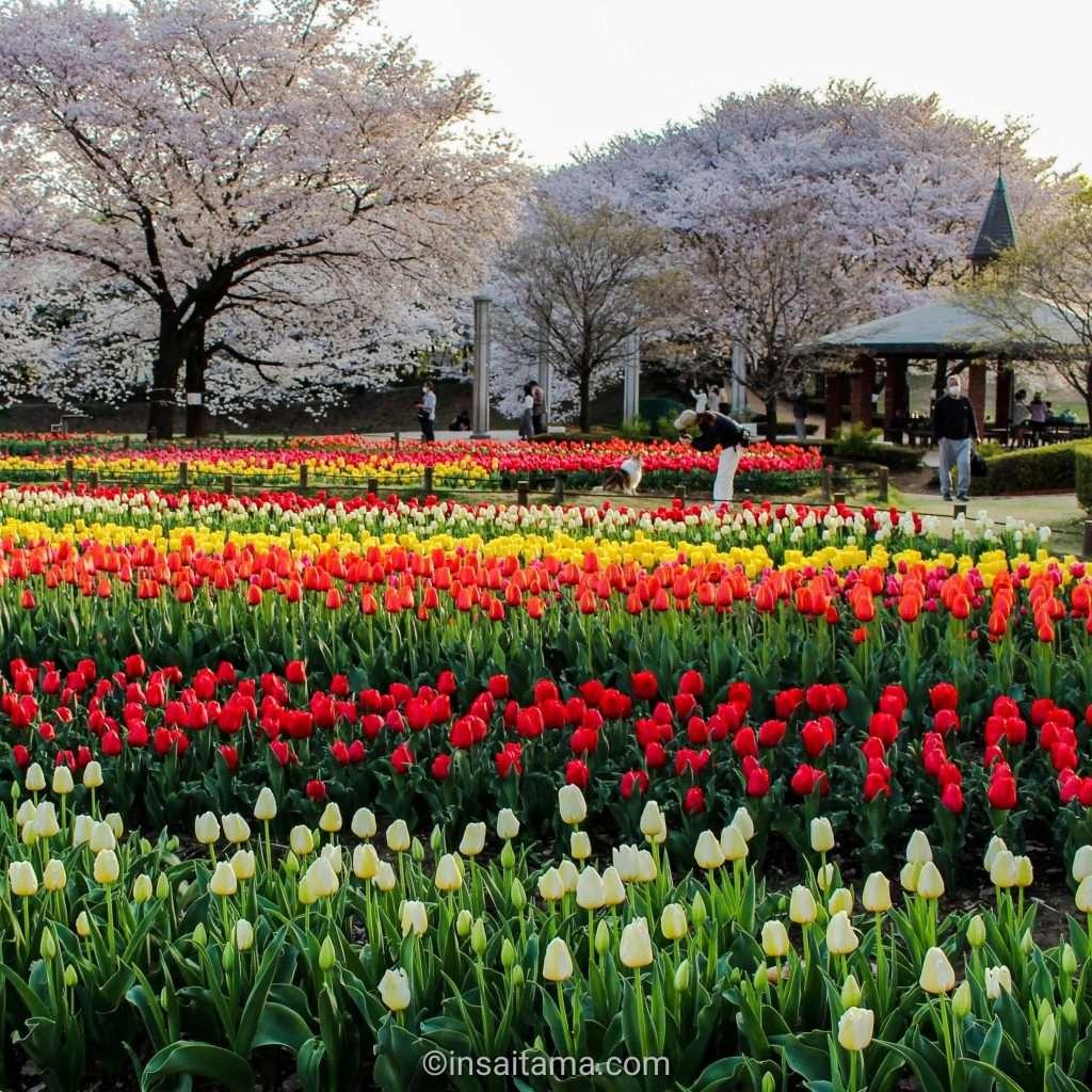 tulips fukaya