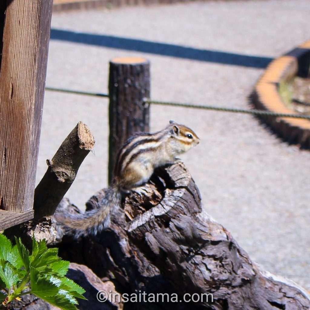 chipmunk at Shimin no Mori Saitama City chipmunks garden