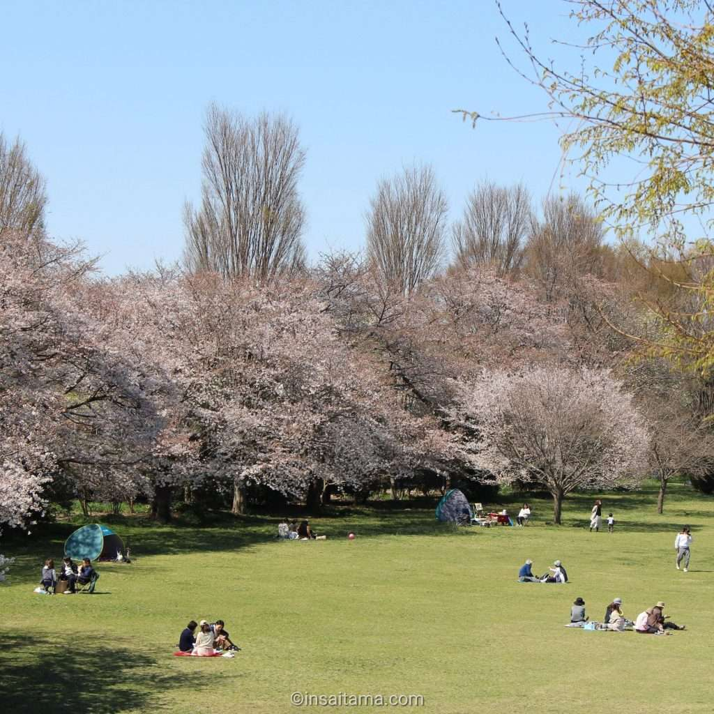 cherry blossoms and sprawling lawns at shimin no mori where there are also chipmunks , Saitama City