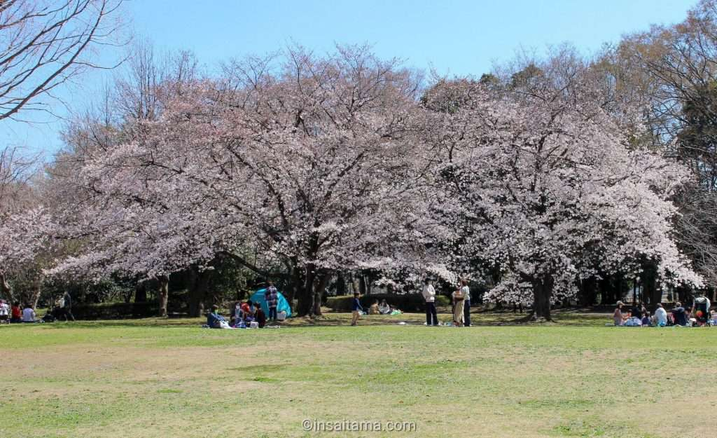 Cherry blossoms Minuma Green Center