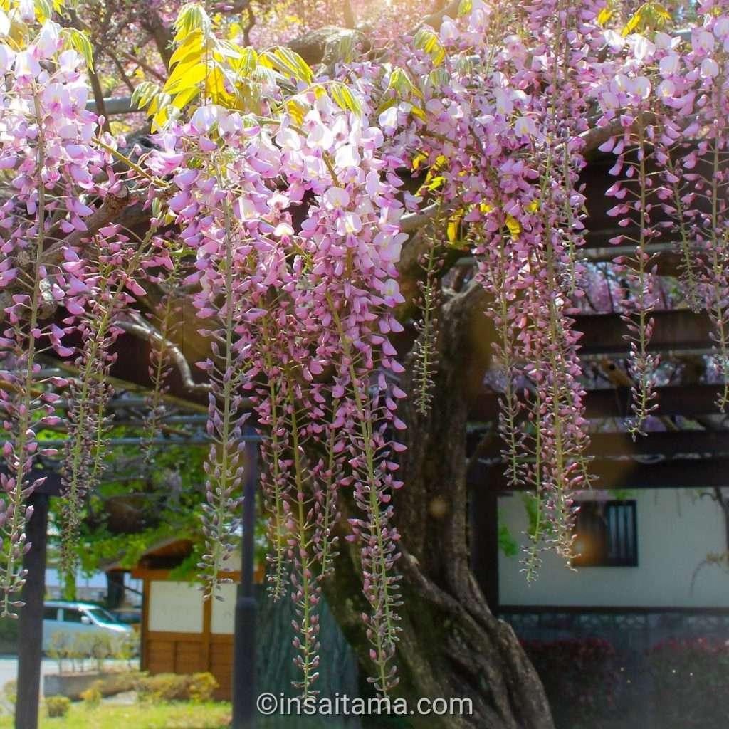 Pink wisteria in Saitama Prefecture
