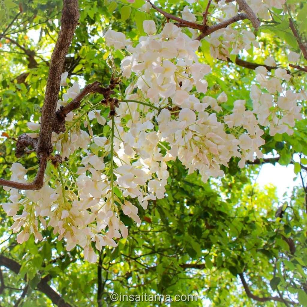 white wisteria hanyu saitama