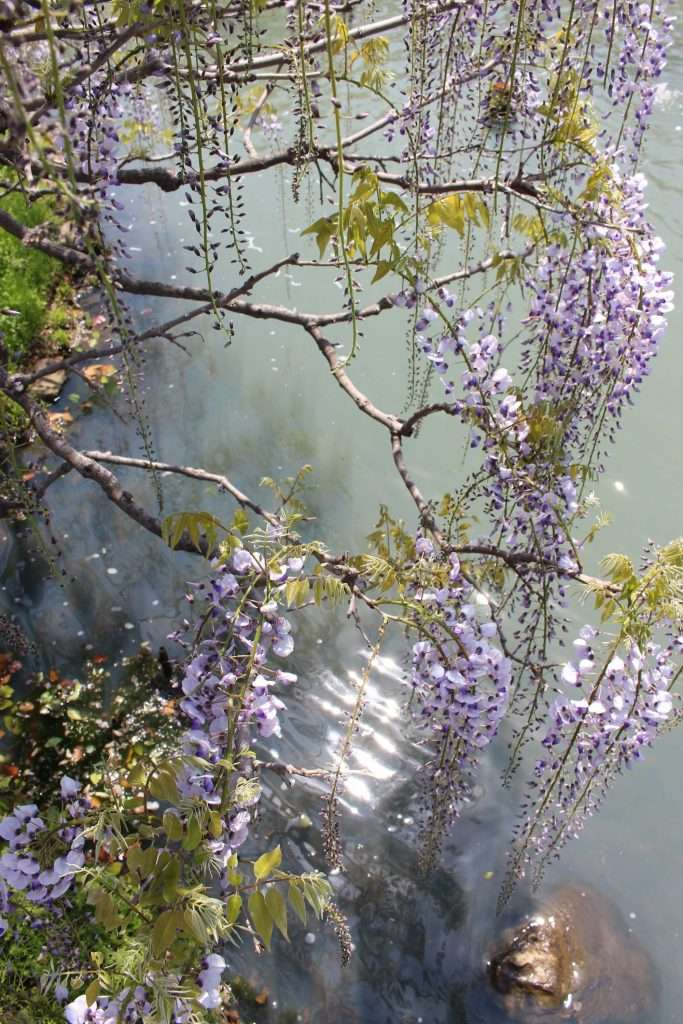 wisteria in water