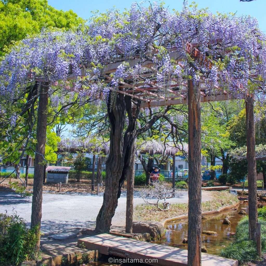wisteria in saitama prefecture