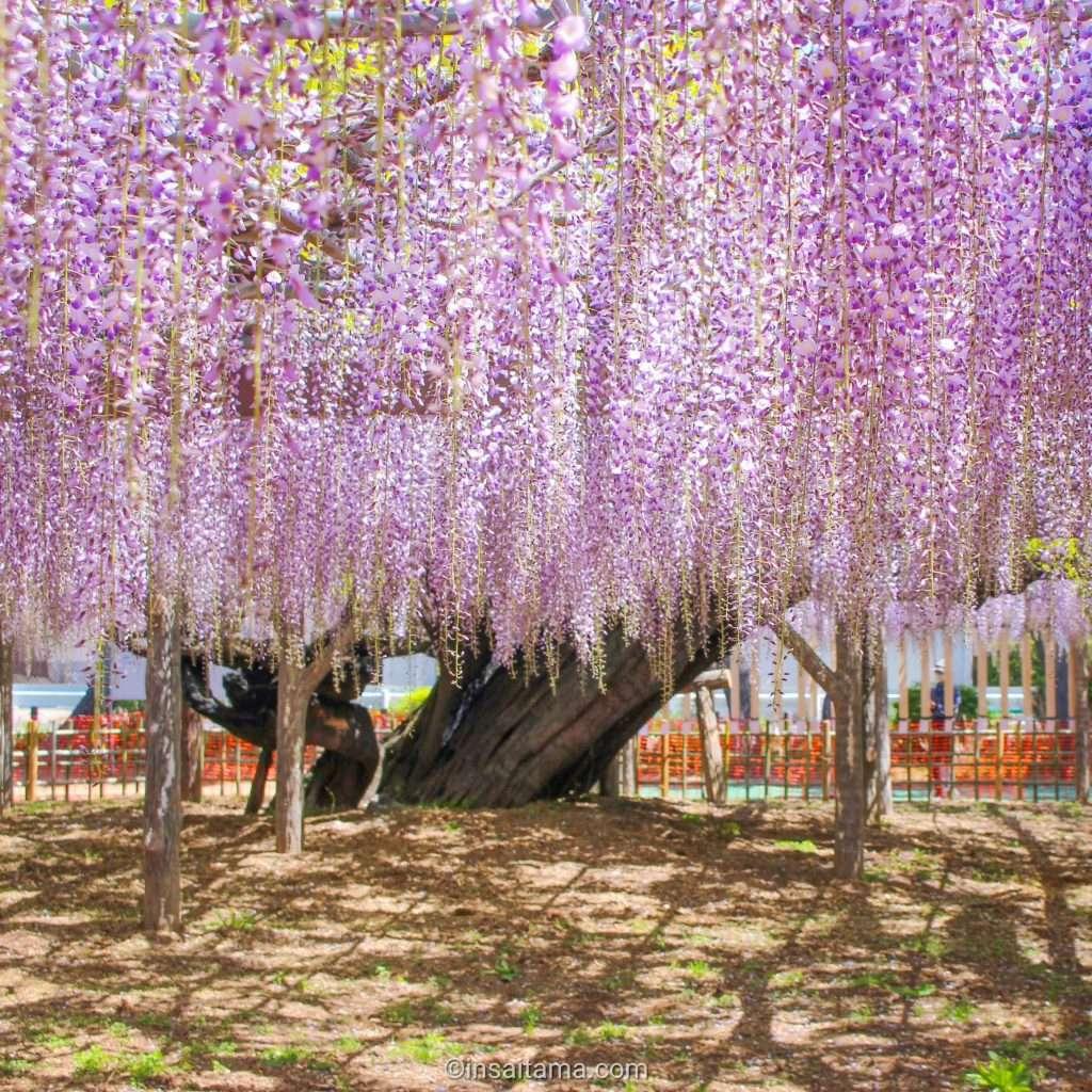 wisteria at tamashiki