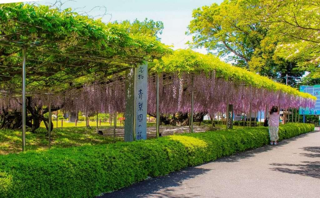 wisteria at aobaen saitama city