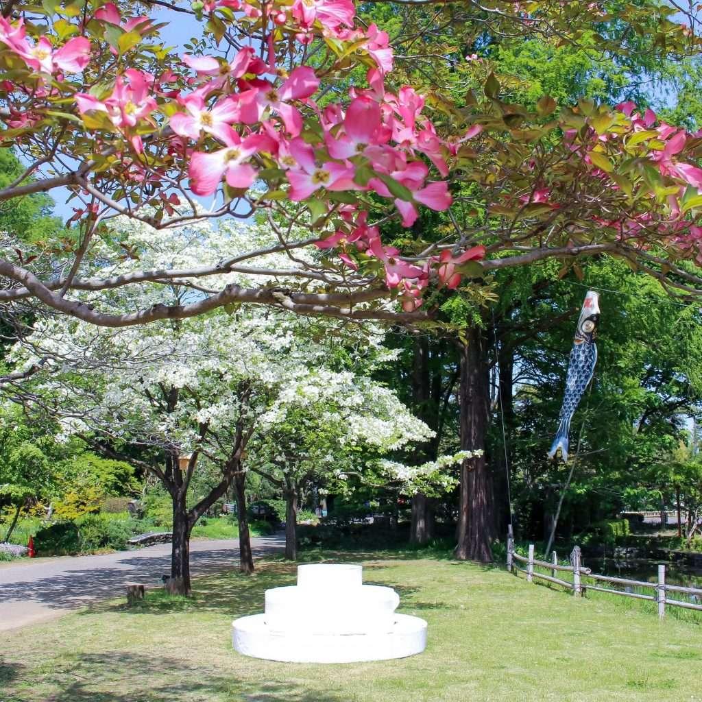 dogwood at Fukaya Green Kingdom