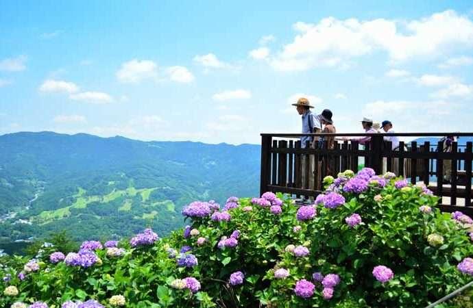 Minoyama park hydrangea Chichibu gr