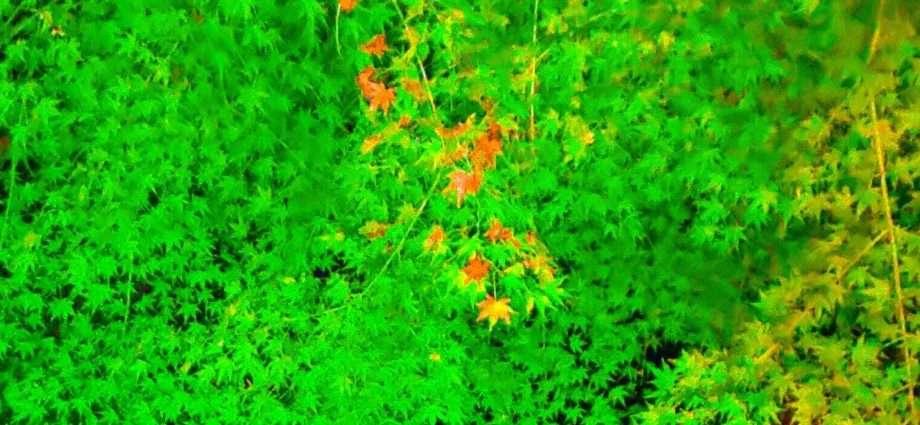 Nagatoro Green leaves light up
