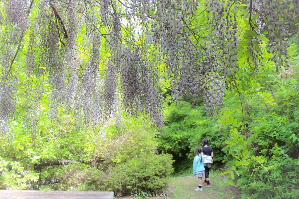 wisteria at washi no sato