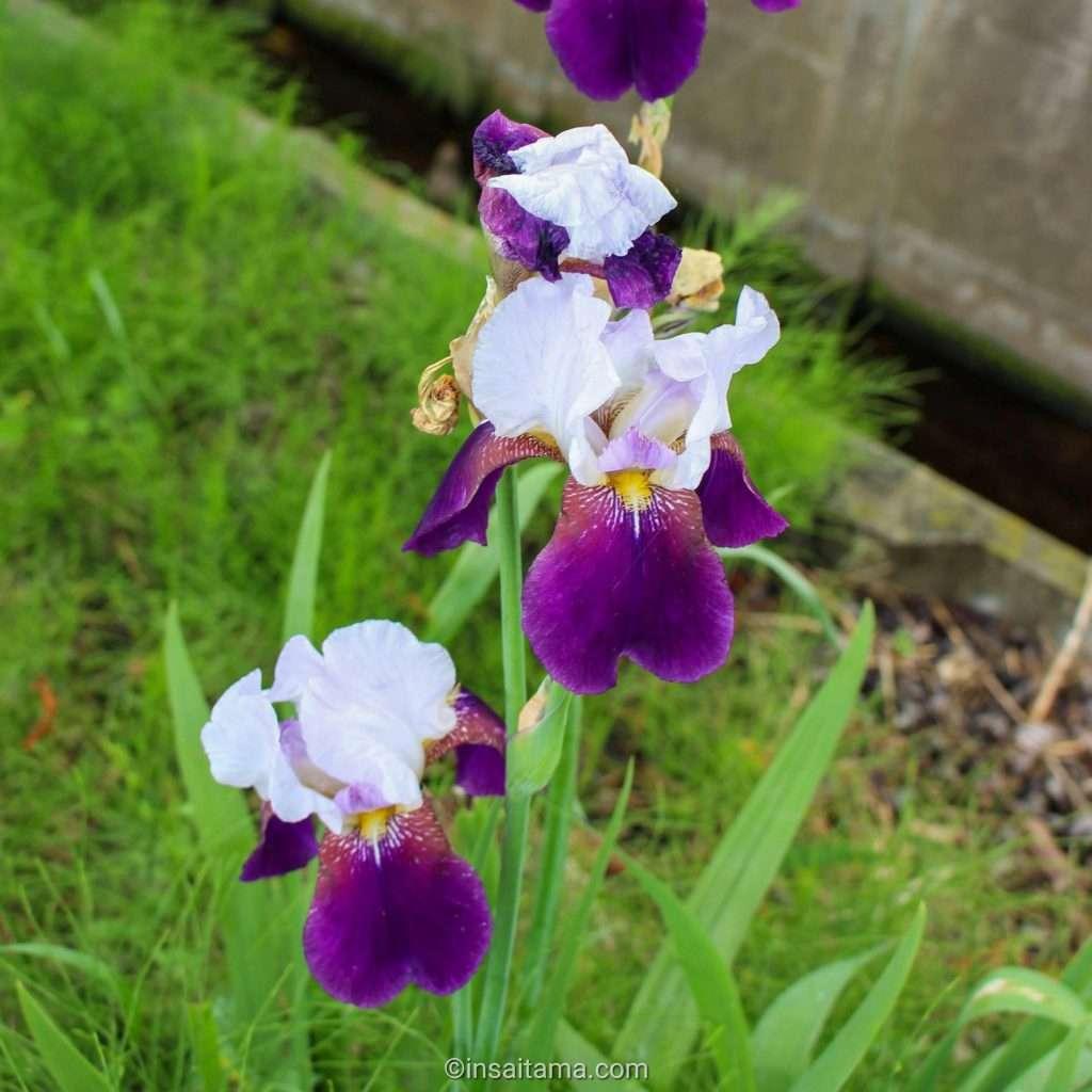 Bearded Iris Okegawa