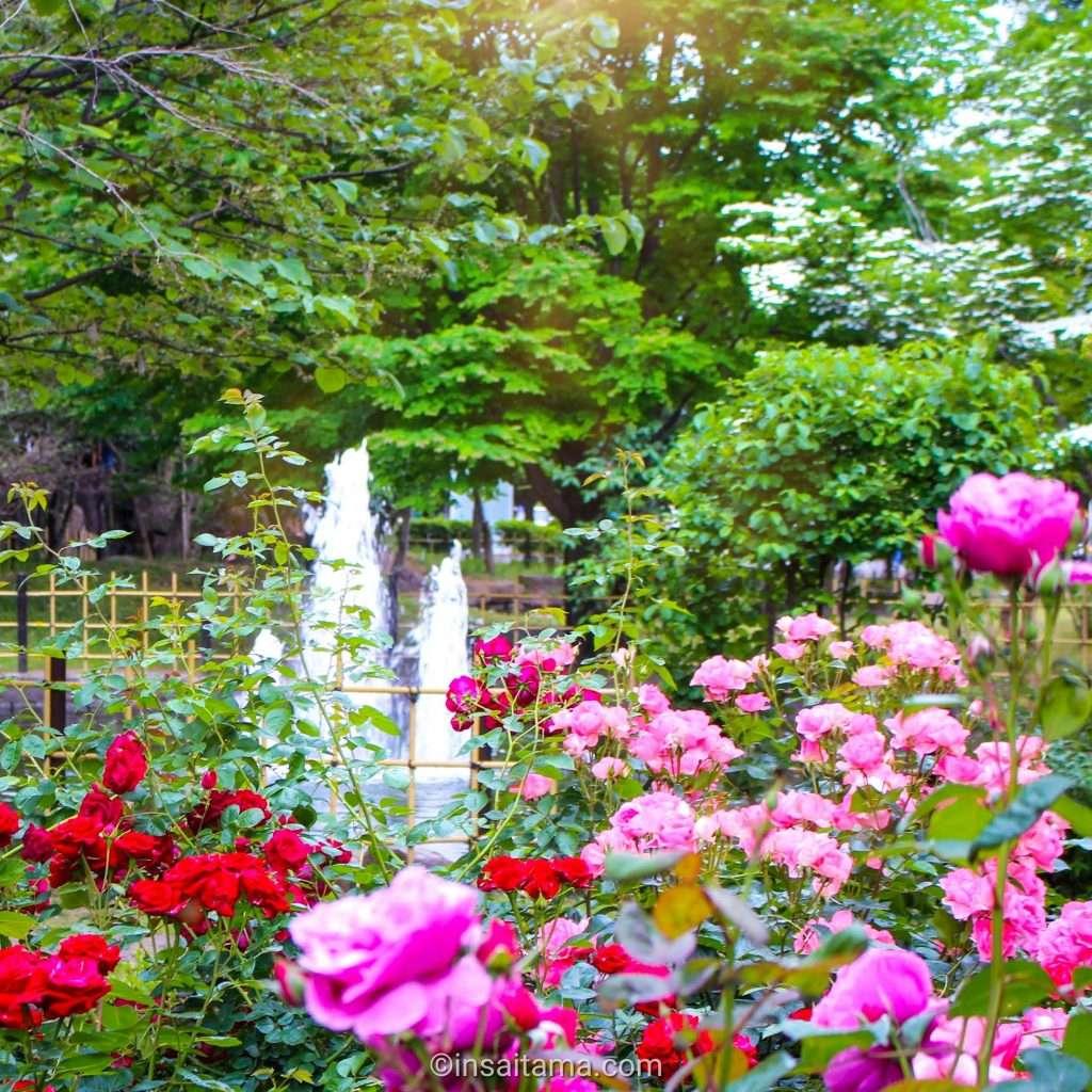 Roses in Ageo Kamihira park