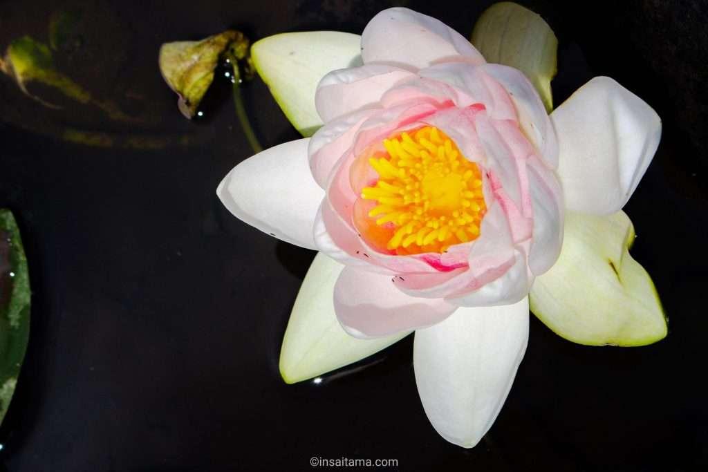 water lily at Zenchoji May 2021