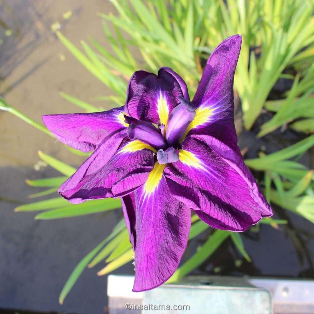 iris, the flower of kawajima town