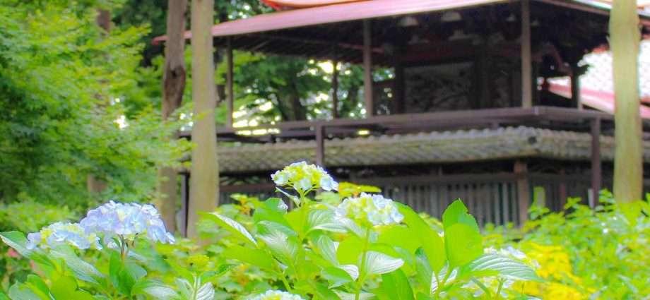 The hydrangea shrine Sashiogi Hikawa Jinja
