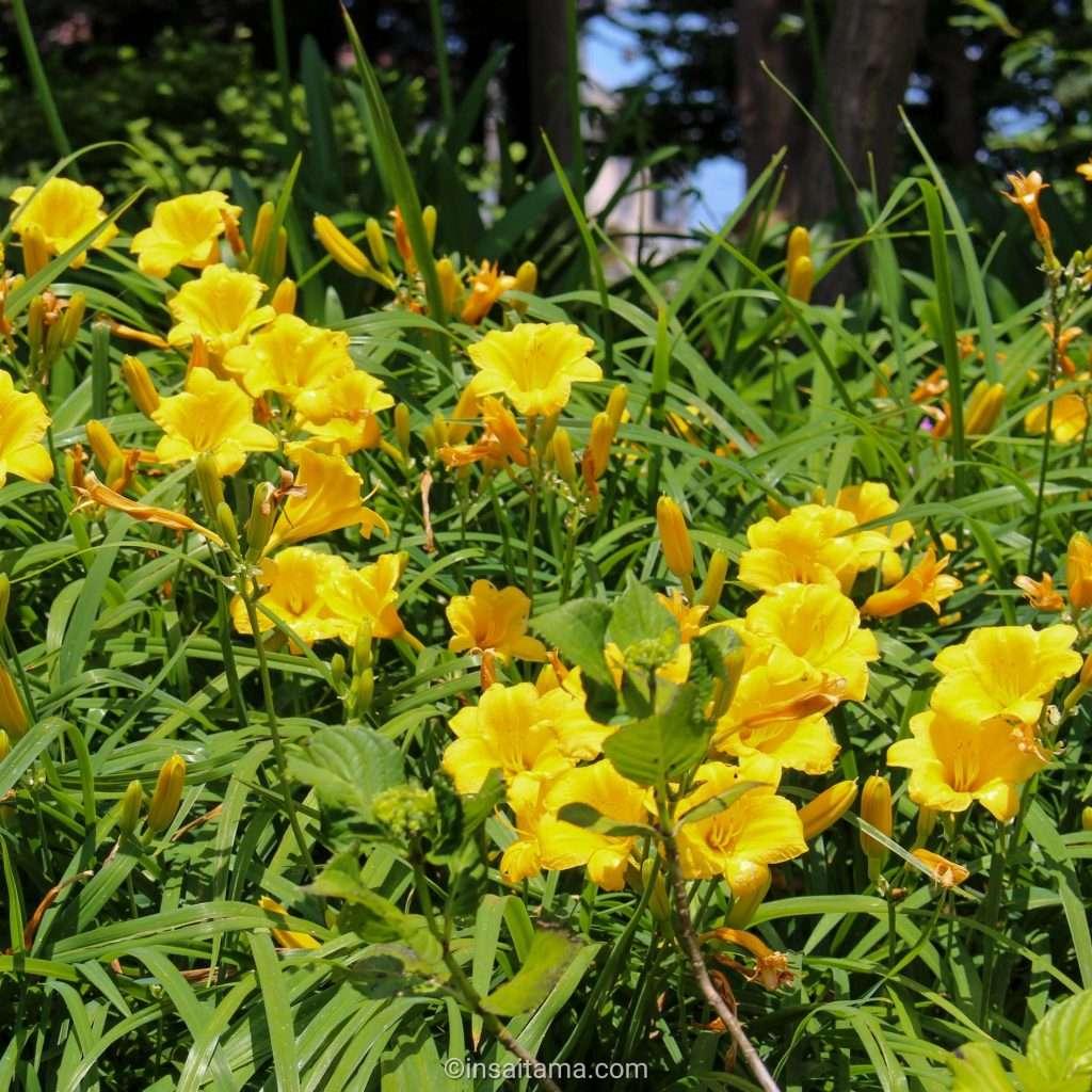 daylilies in Saitama City
