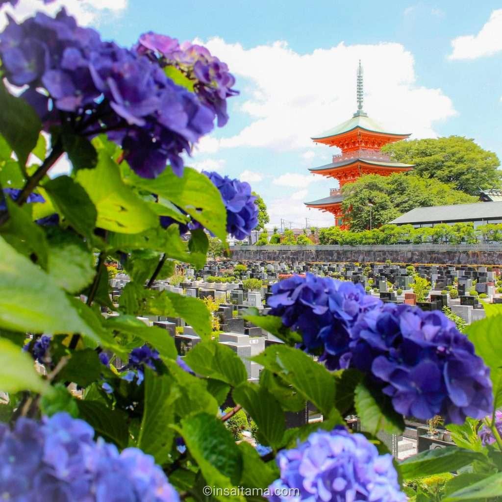 hydrangea and pagoda at Aobaen Saitama CIty