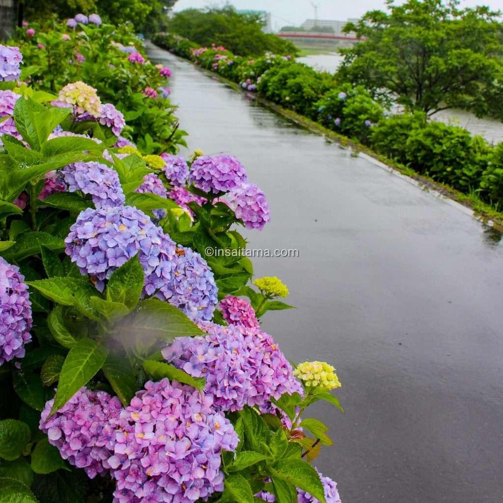 Hydrangea at Iroha Water Park in Shiki