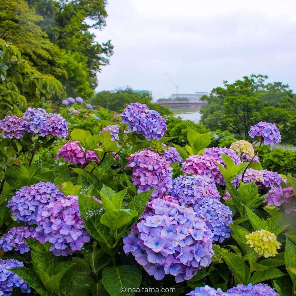 hydrangea at Iroha Shinsui Park