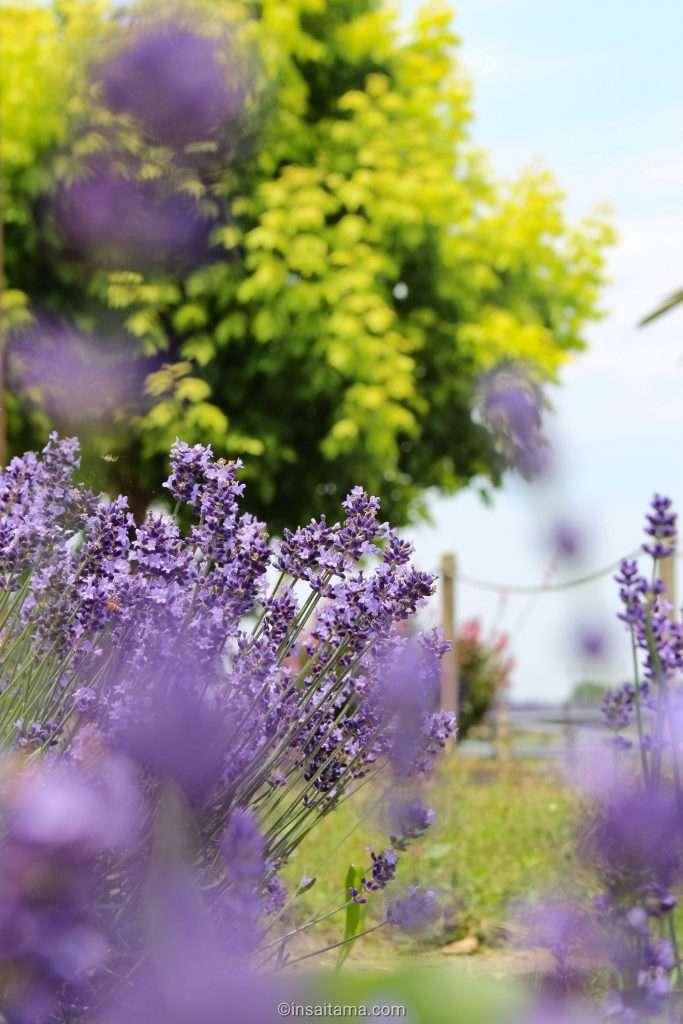 Lavender Kuki