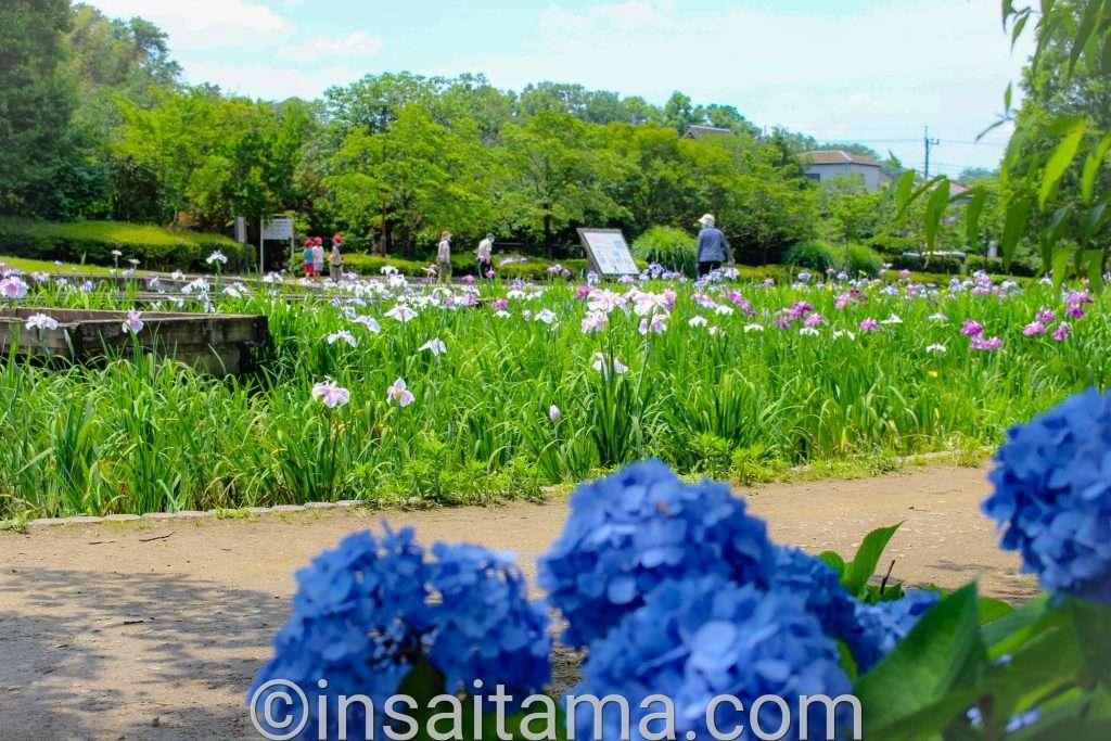 hydrangea and iris yamazaki park fujimi