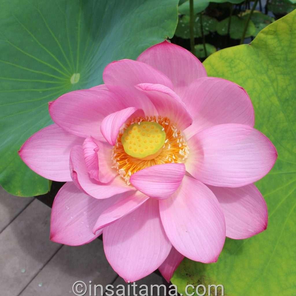 lotus flowers at Kodai Hasu no sato
