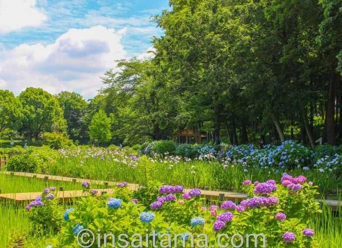 Iris and hydrangea Ageo Maruyama Park 2021 Saitama