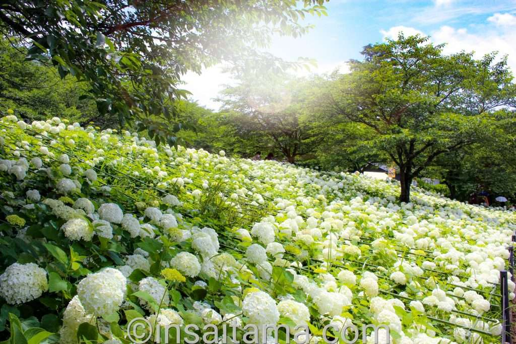 Hydrangea at Satte gongendo Park Saitama Prefecture
