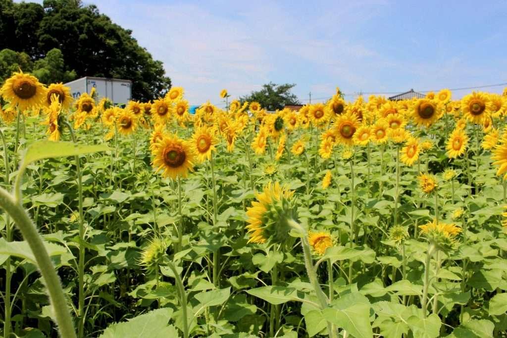 sunflowers fukaya 7-11