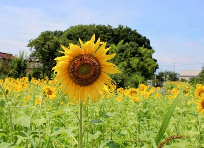 sunflowers fukaya