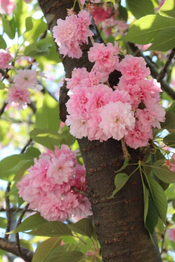 Honjo park cherry blossoms