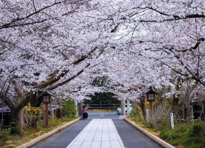 Cherry blossoms at Koma Jinja Shrine