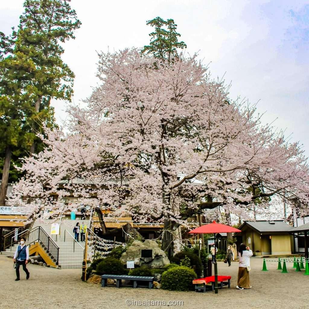 cherry blossom at koma shrine hidaka