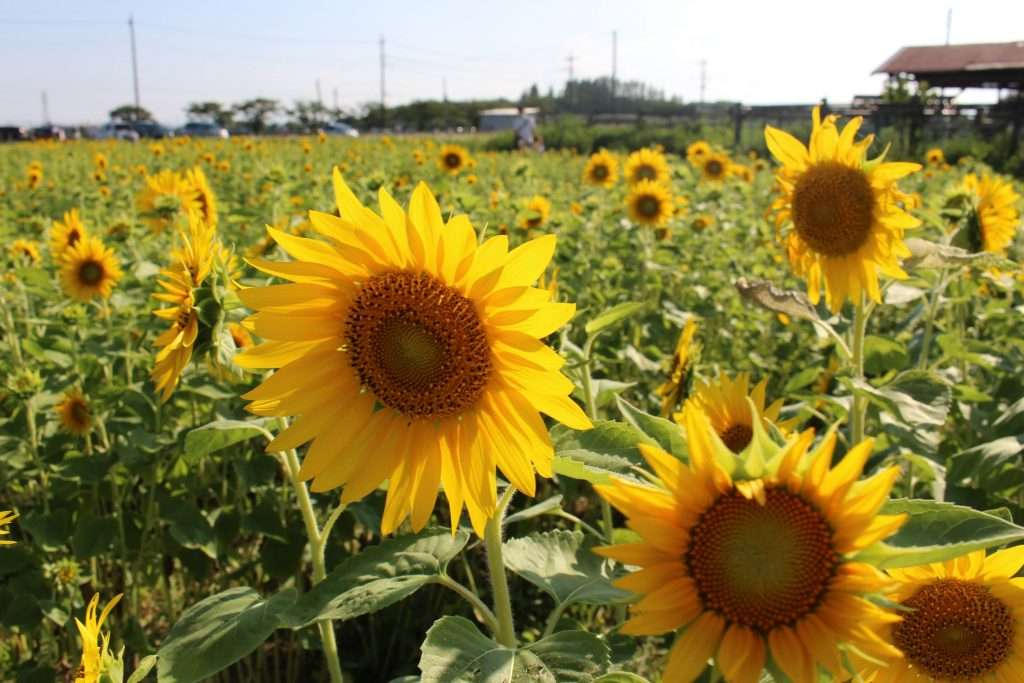 sunflowers Kawagoe 2021