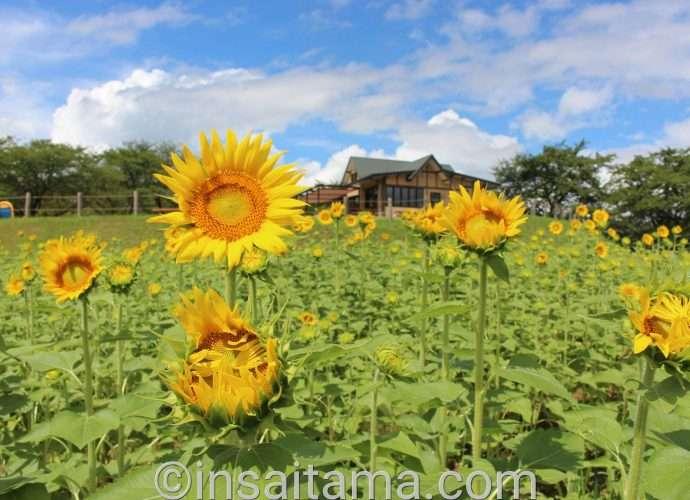 Sunflowers Higashimatsuyama Agricultural Park Norin Park