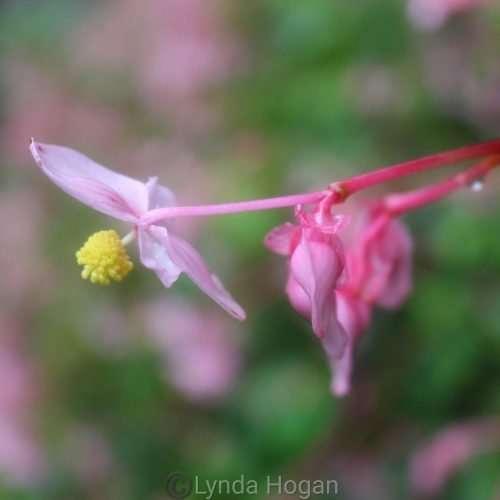 Begonia aka shukaido saitama prefecture