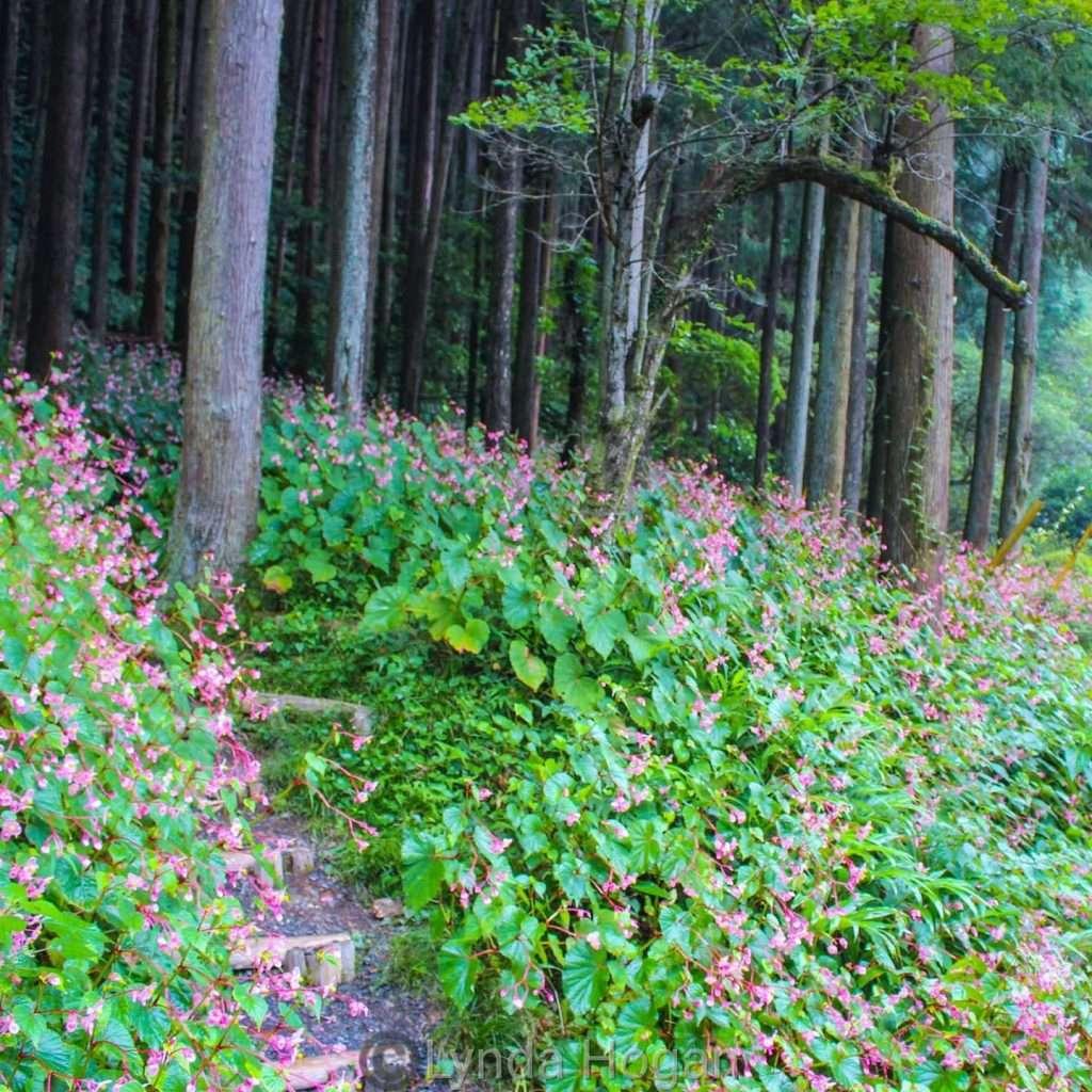 Begonia Ogawa Saitama