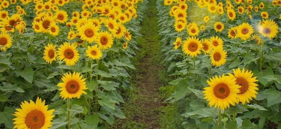 Autumn sunflowers Konosu