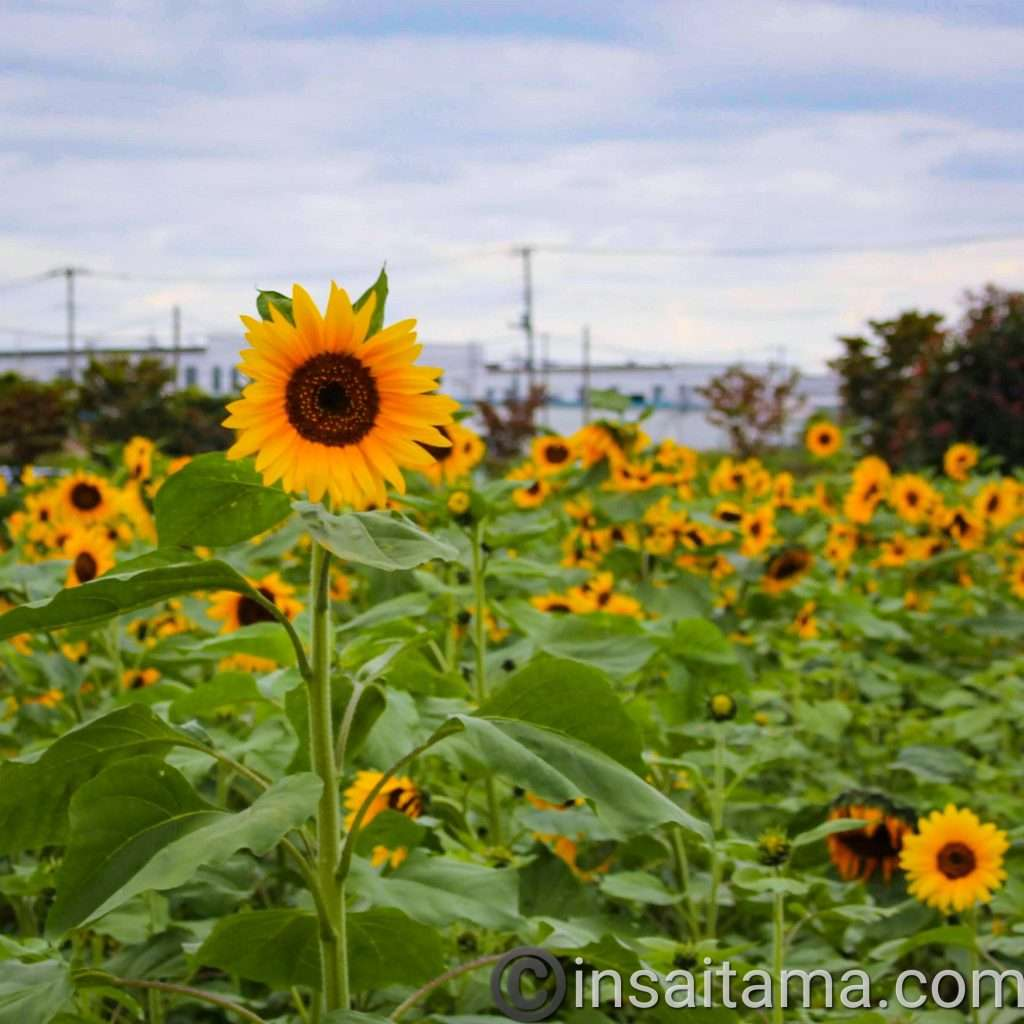 sunflowers konosu