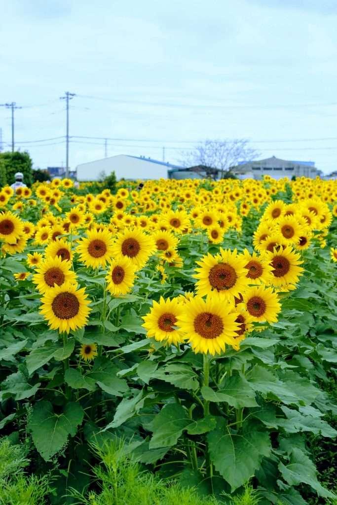 October sunflowers konosu